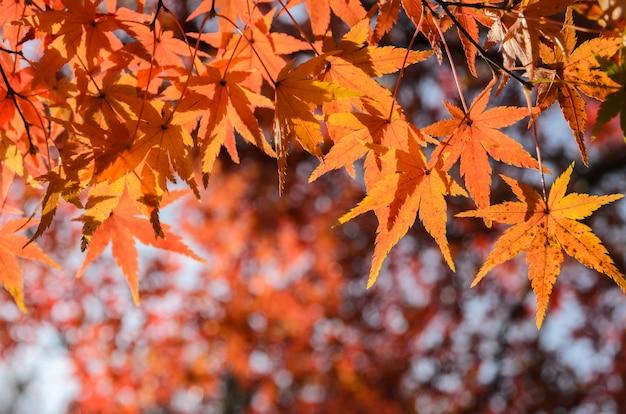 Jesienne kolorowe liście klonu w japonii