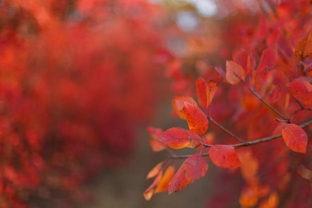 Jesienne krzewy z czerwonymi liśćmi. jesienne farby w miejskim parku.