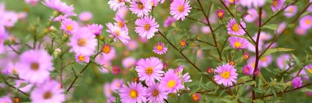 Jesienne kwiaty aster novi-belgii intensywny jasnofioletowy kolor w pełnym rozkwicie w ogrodzie.