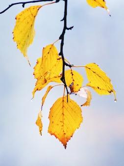 Jesienne liście brzozy żółte z kroplami deszczu na jasnym tle