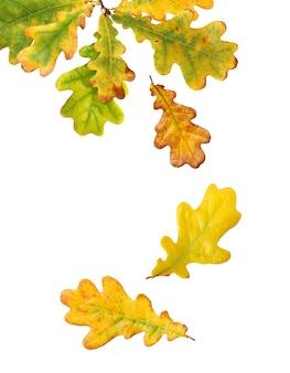 Jesienne liście dębu na białym tle. opadające żółto-zielone liście.
