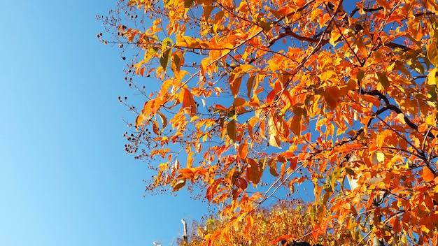 Jesienne liście i czyste, błękitne niebo z żółtym i czerwonym kolorem.