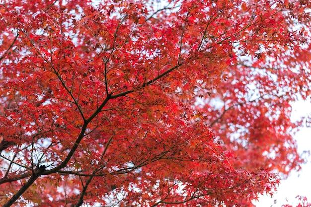 Jesienne liście klonu japońskiego w słoneczny dzień.