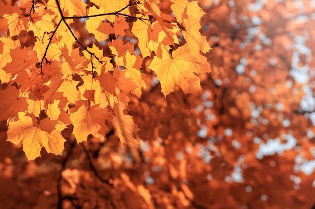 Jesienne liście klonu ornage na gałęziach drzew