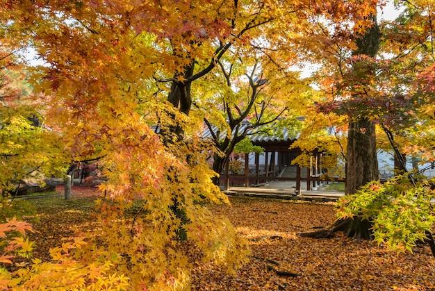 Jesienne liście klonu w kioto w japonii