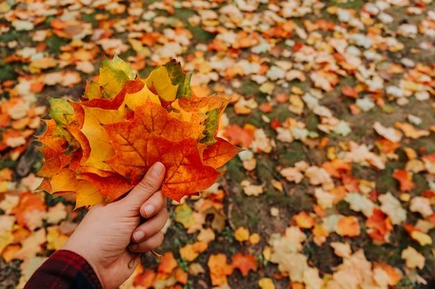 Jesienne liście klonu w ręce kobiety. selektywne ustawianie ostrości