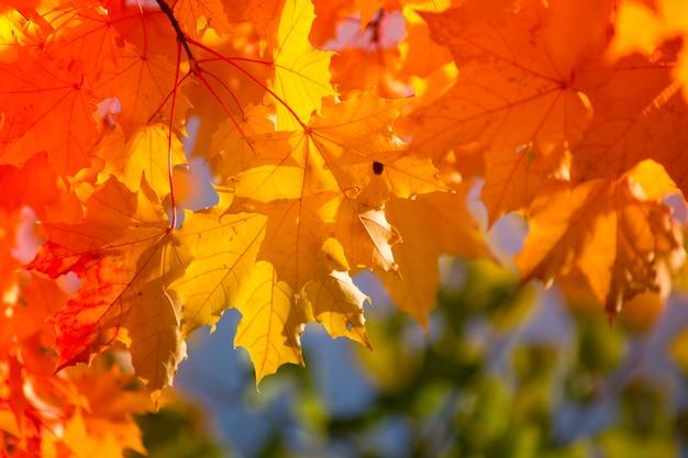 Jesienne liście klonu w rozmytym tle