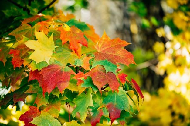 Jesienne liście klonu z bliska. kolorowy klonowy drzewo na pogodnym bokeh