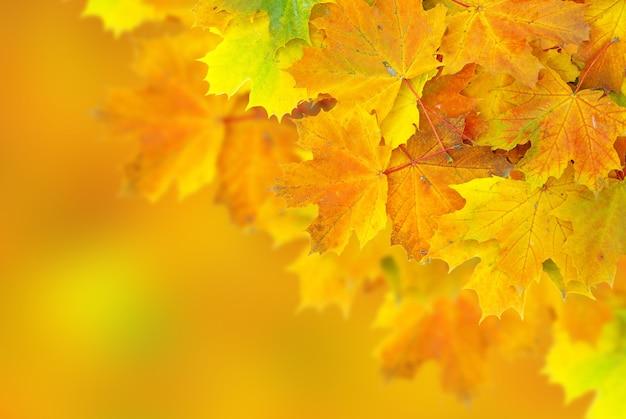 Jesienne liście klonu z selektywnym skupieniem