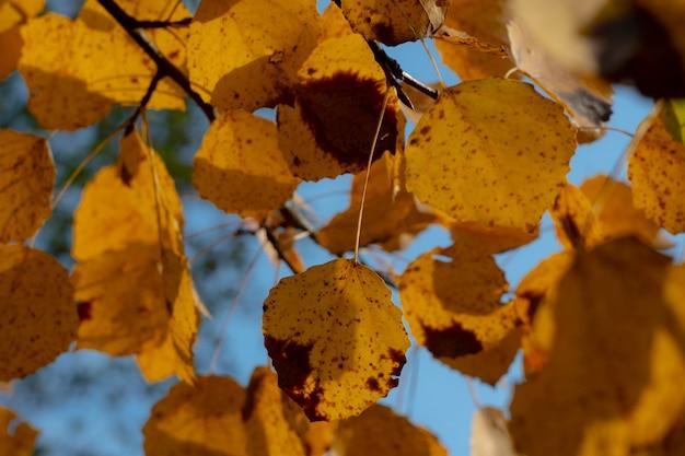 Jesienne liście osiki na drzewie