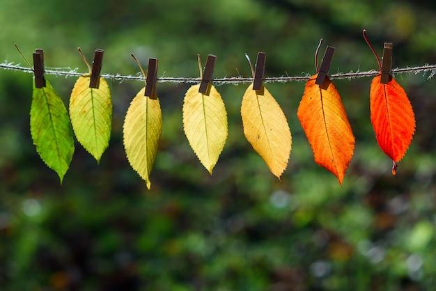 Jesienne liście przechodzą z zielonego na czerwony na drewnianych spinaczach do bielizny i koronce.