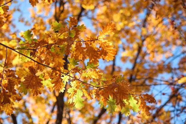 Jesienne liście, tekstura. liście dębu pomarańczowego.