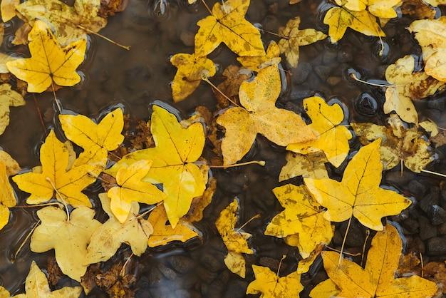 Jesienne liście w kałuży. jesienna pogoda deszczowa. jesienne tło. żółte liście unoszące się w kałuży. pada deszcz.