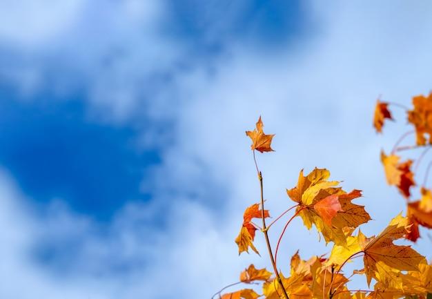 Jesienne liście z błękitnym niebem, żółte jesienne liście przed może niebo. jasne pomarańczowe liście jesienią puste miejsce.
