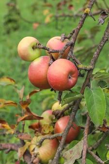 Jesienne owoce wiszące na gałęzi drzewa w ogrodzie.