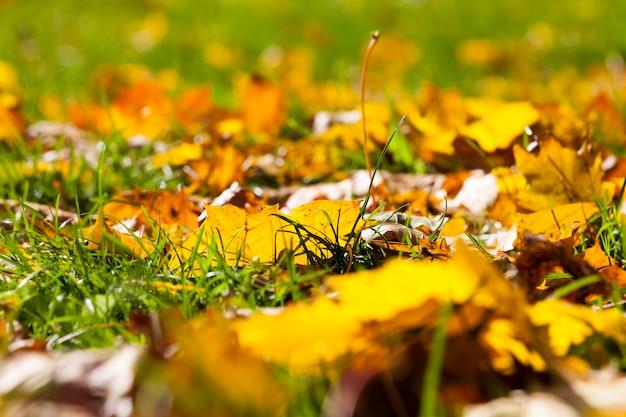 Jesienne słońce prześwieca przez liście po opadnięciu liści, z bliska w przyrodzie