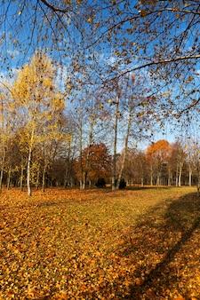 Jesienne słońce prześwieca przez liście podczas opadania liści, zbliżenie w naturze z brzozami