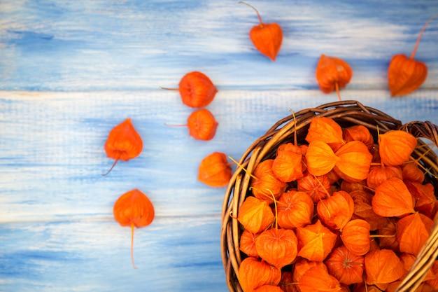 Jesienne tło. jasne pomarańczowe pęcherzycy jagody na błękitnym odrewniałym tle.