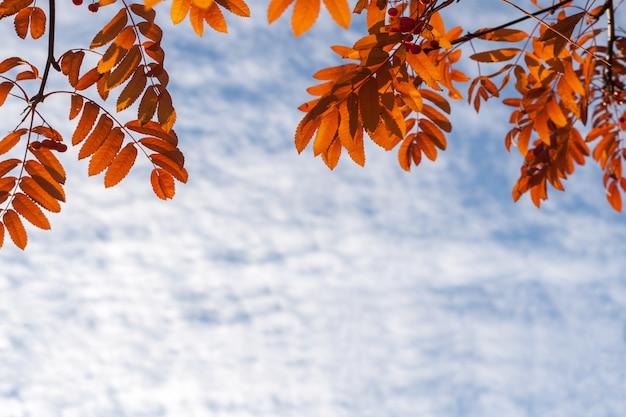 Jesienne tło. pomarańczowa jarzębina opuszcza przy wierzchołkiem i niebo z chmurami
