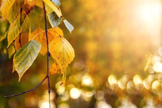 Jesienne tło z kolorowymi liśćmi brzozy na rozmytym tle z bokeh w jasnym świetle słonecznym, kopia przestrzeń