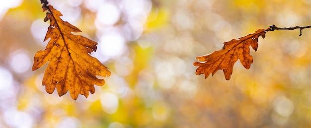 Jesienne tło z suchymi liśćmi dębu na rozmytym tle