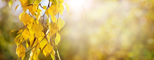 Jesienne tło z żółtymi liśćmi brzozy na rozmytym tle w słoneczną pogodę, panorama, kopia przestrzeń