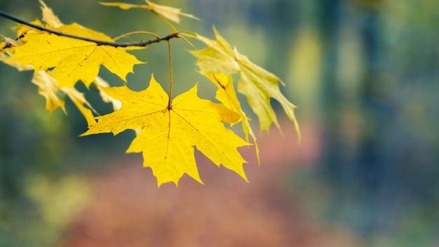 Jesienne tło z żółtymi liśćmi klonu na delikatnym rozmytym tle w pastelowych kolorach