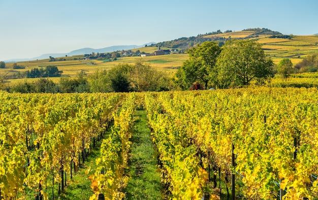Jesienne winnice w haut-rhin - grand est, francja