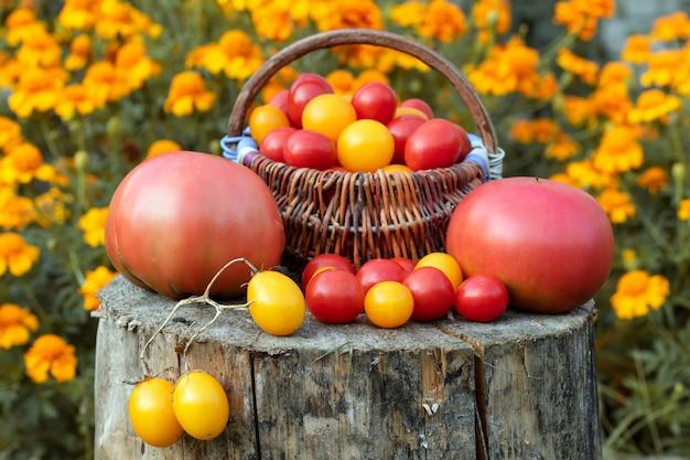 Jesienne zbiory. kolorowi pomidory, czerwień, kolor żółty, pomarańcze na nieociosanym drewnianym tle.