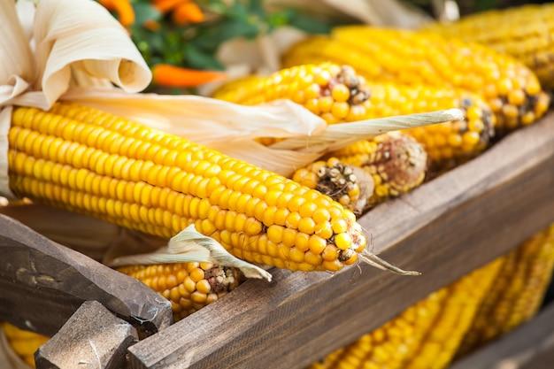 Jesienne zbiory tła, świeże żółte warzywa kukurydzy