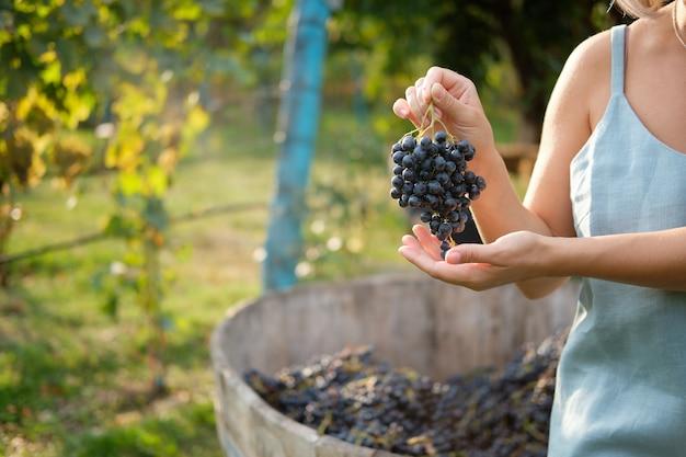 Jesienne zbiory w winnicach dziewczyna trzyma kiść świeżych niebieskich winogron