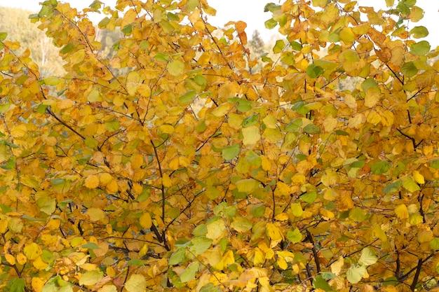Jesienne żółte liście na gałęziach drzew w październiku. jesienne tło.
