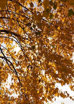 Jesienne żółte liście podczas opadania liści