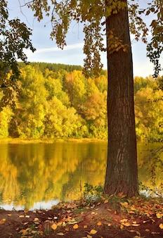 Jesienny brzeg rzeki inya pień drzewa ze złotymi liśćmi na wysokim zboczu