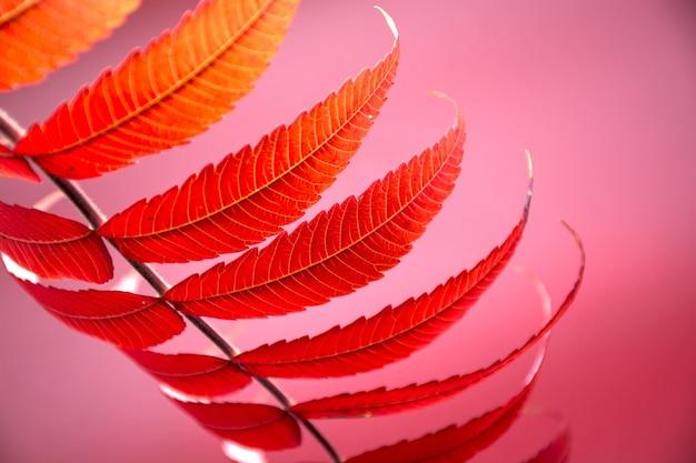 Jesienny kolorowy czerwony liść klonu na czerwonym tle
