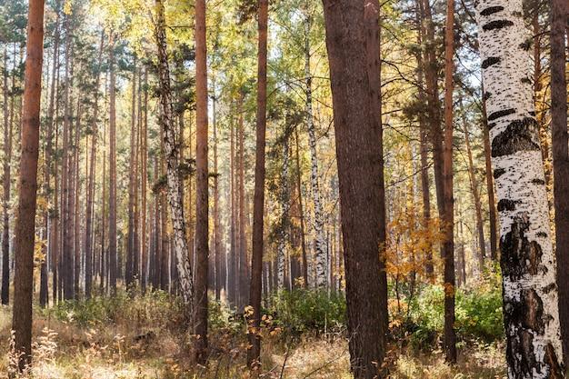 Jesienny krajobraz. nasłoneczniona jesień mieszany las liściasto-iglasty.