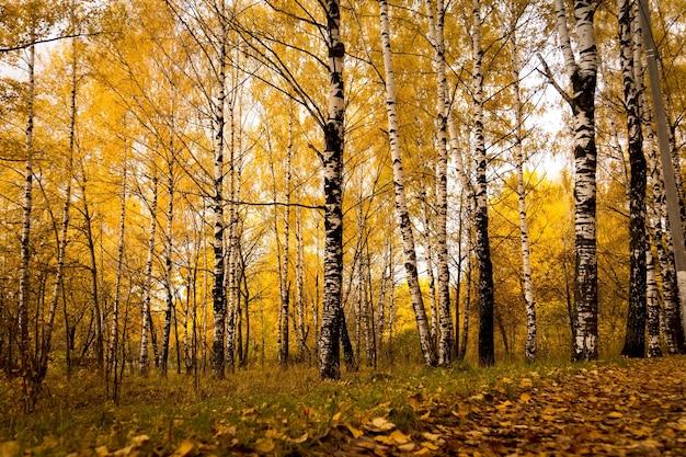 Jesienny krajobraz z brzozami w lesie