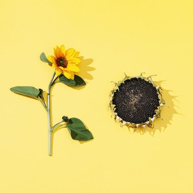 Jesienny kwiat słonecznika i czarnych nasion na żółto