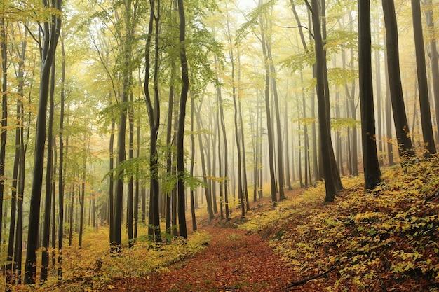 Jesienny las bukowy na deszczową, mglistą pogodę