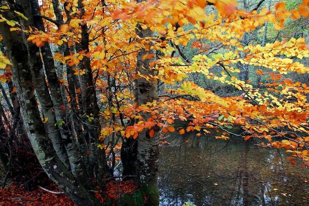 Jesienny las bukowy nad rzeką baias. park przyrody gorbeia. kraj basków. hiszpania