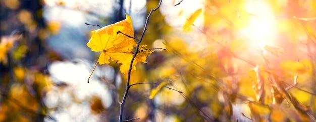 Jesienny las w słoneczny dzień z żółtym liściem klonu na gałęzi drzewa
