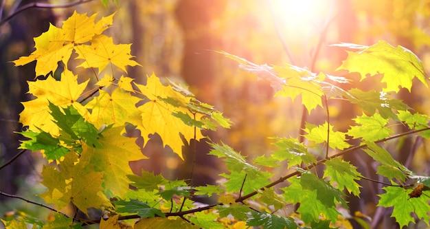Jesienny las z żółtymi i zielonymi liśćmi klonu podczas zachodu słońca