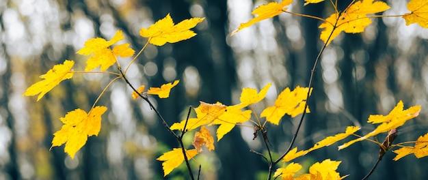 Jesienny las z żółtymi liśćmi klonu na drzewach