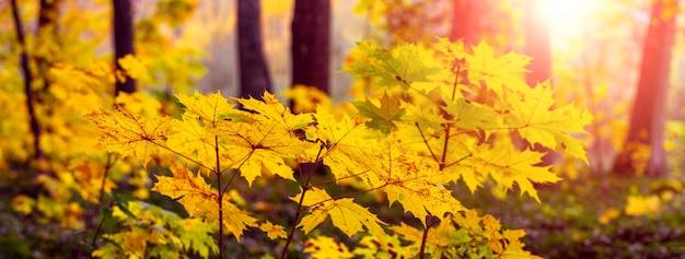 Jesienny las z żółtymi liśćmi klonu na młodych drzewach podczas zachodu słońca