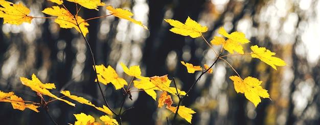 Jesienny las z żółtymi liśćmi klonu na młodym drzewie na tle ciemnych drzew