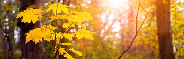 Jesienny las z żółtymi liśćmi klonu w wieczornym słońcu, klimatyczna jesienna panorama