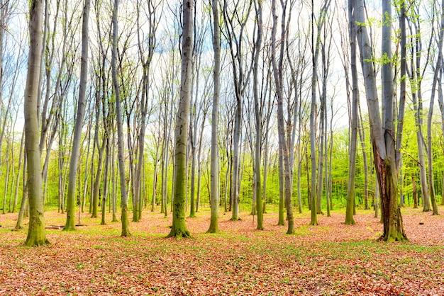 Jesienny las z żółtymi opadłymi liśćmi i zielonymi drzewami