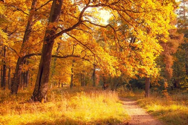 Jesienny las ze stuletnimi dębami rozkładającymi gałęzie w słoneczny dzień.