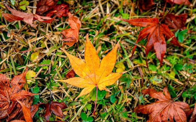 Jesienny liść coloful, w korei.