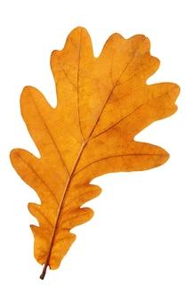 Jesienny liść dębu na białym tle